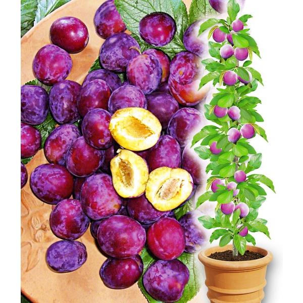 product_gallery_large_1357706313_PN4355-Pflanzen-Obstpflanzen-Beeren-Saeulen-Mirabelle-Mirouge-1-_4d23521e-58d3-5b10-95e2-a6be7cad7267
