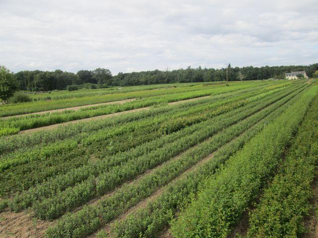 Champs avec plantation de porte-greffes.