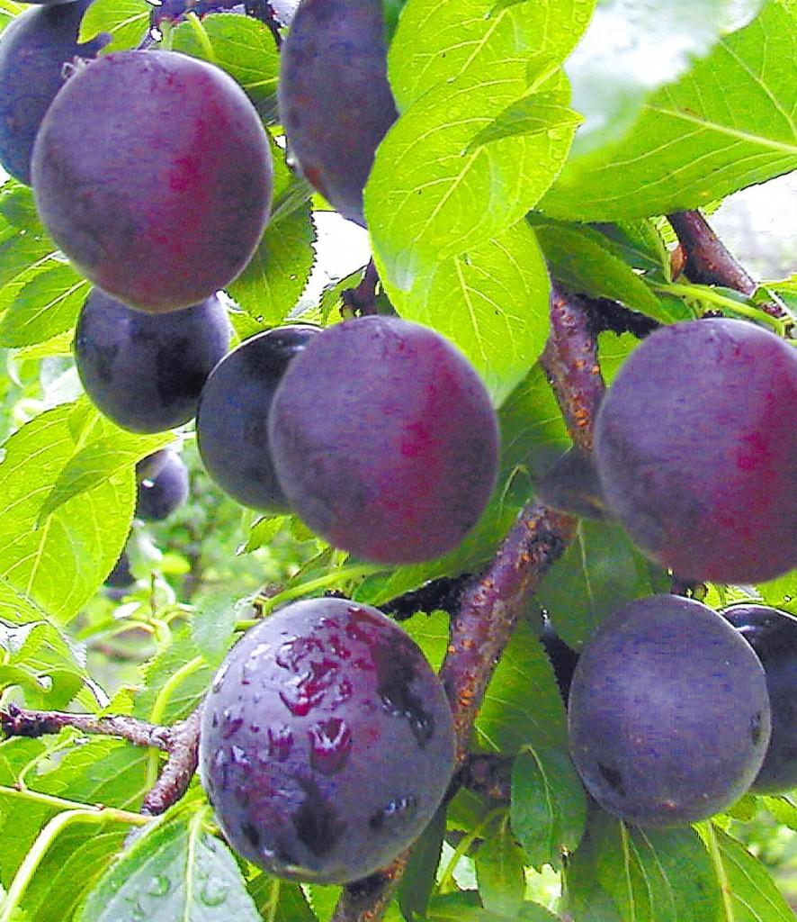 La prune-abricot