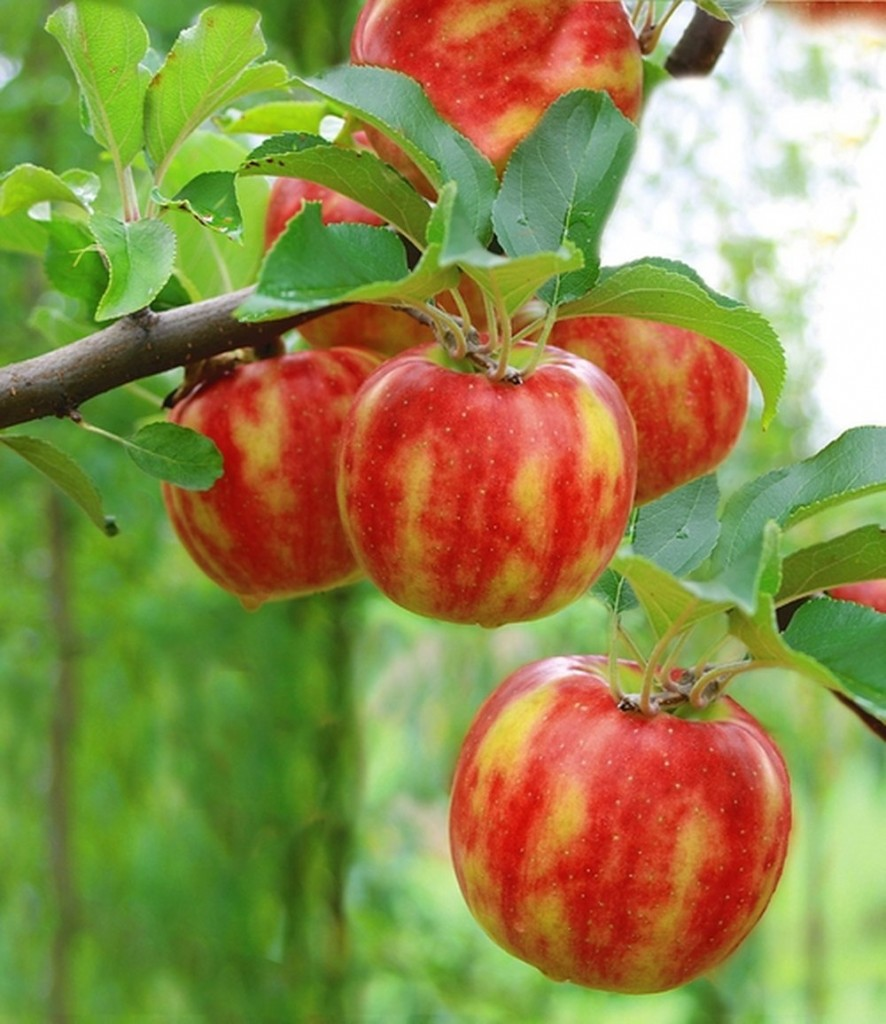 Pomme bicolore 'Karneval