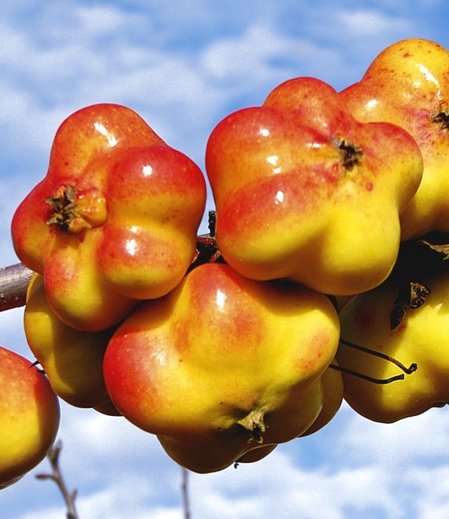 Pomme en étoile