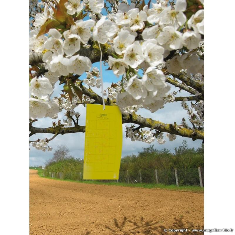 quand installer les pieges jaune avec glu anti-mouche pour la protection des cerises