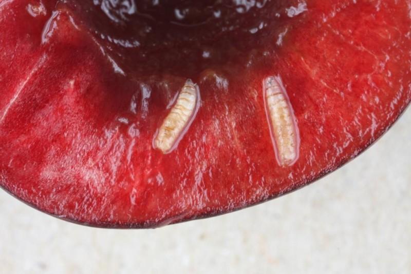 Vers dans les cerises - LarvesDrosophilaSuzukiiCerises