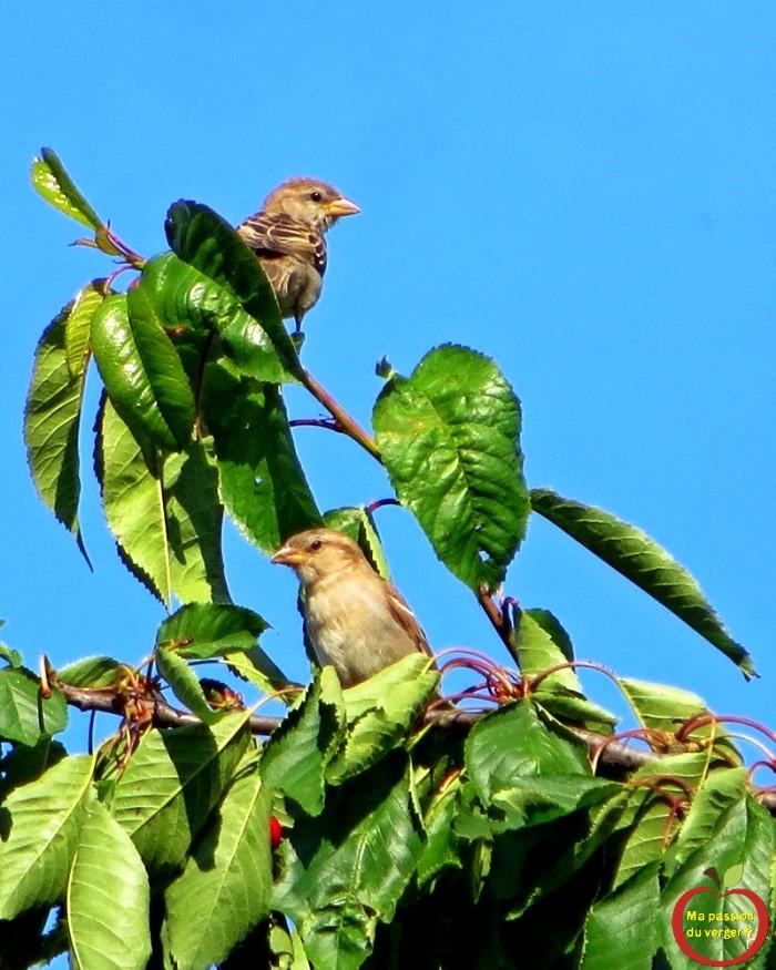 Moineaux sur le cerisier sperlinge-im-kirschbaum