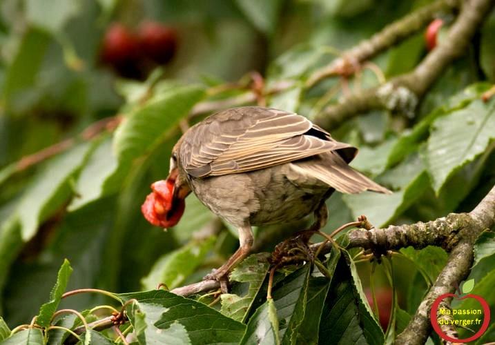 moineau sur cerisier qui mange les cerises lutte contre les oiseaux dans les cerises