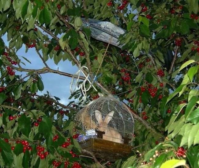 Comment éloigner les oiseaux des cerisiers