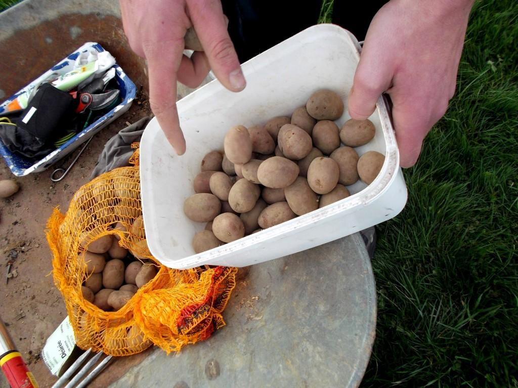 Préparer les plants de pommes de terre, pour la planteuse