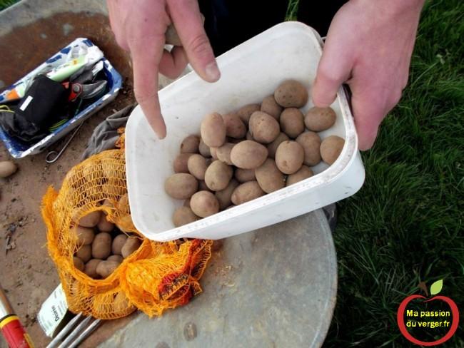 Préparer les plants de pommes de terre-  planteuse automatique pour pomme de terre