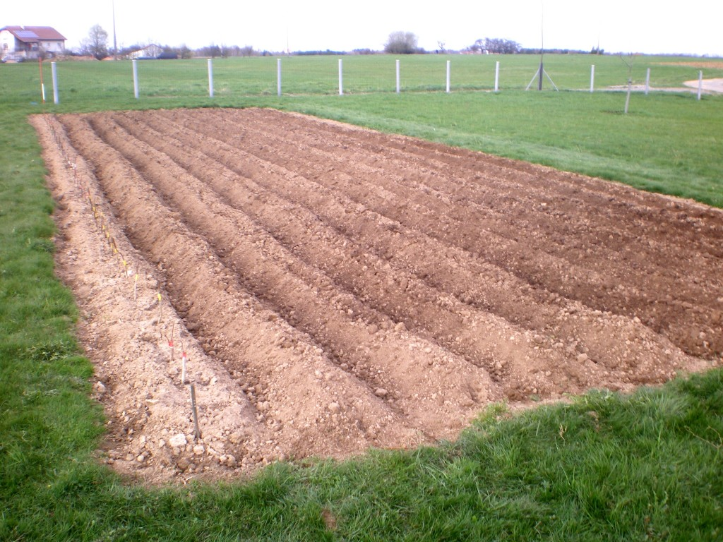 Avantages de la plantation en buttes des pommes de terre