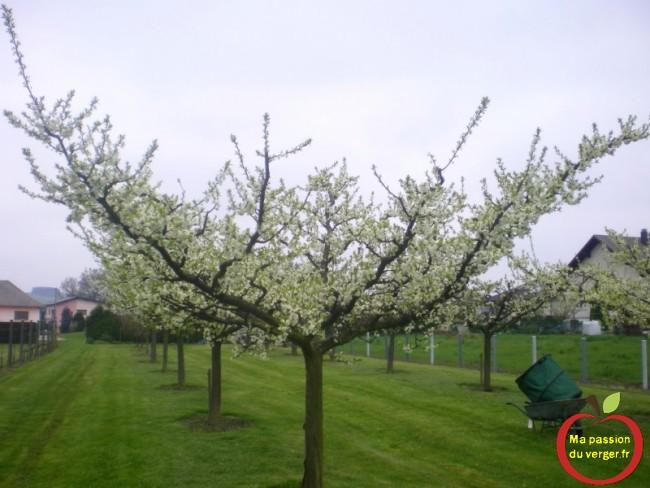 mirabelle demi-tige en gobelet ouvert au printemps.-regrevudnoissapamegres-