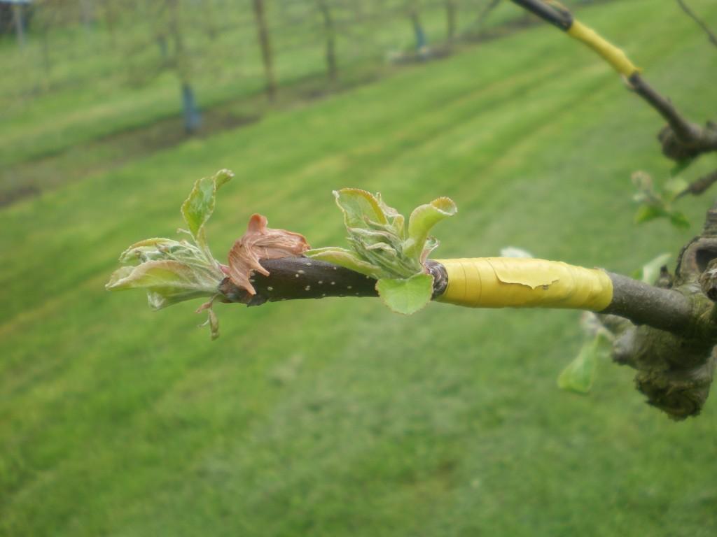 Greffage bois de deux ans, avec oeil a fruits à l'anglaise compliquée