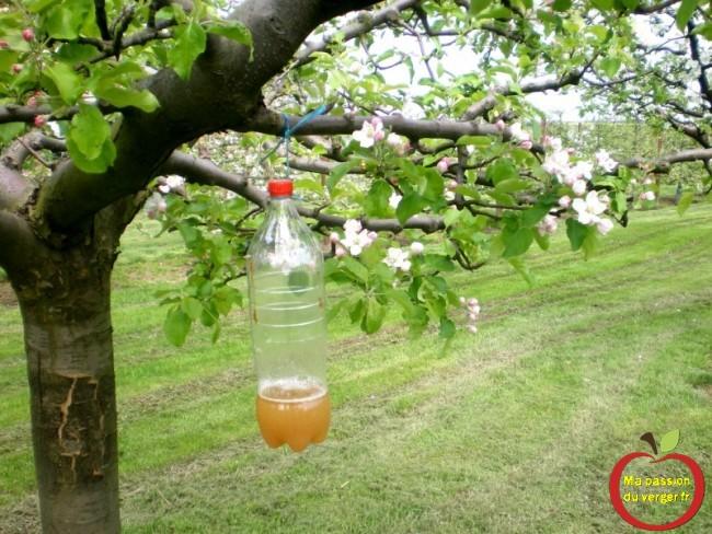 acrochage des pièges a guepes au printemps dans les arbres fruitiers