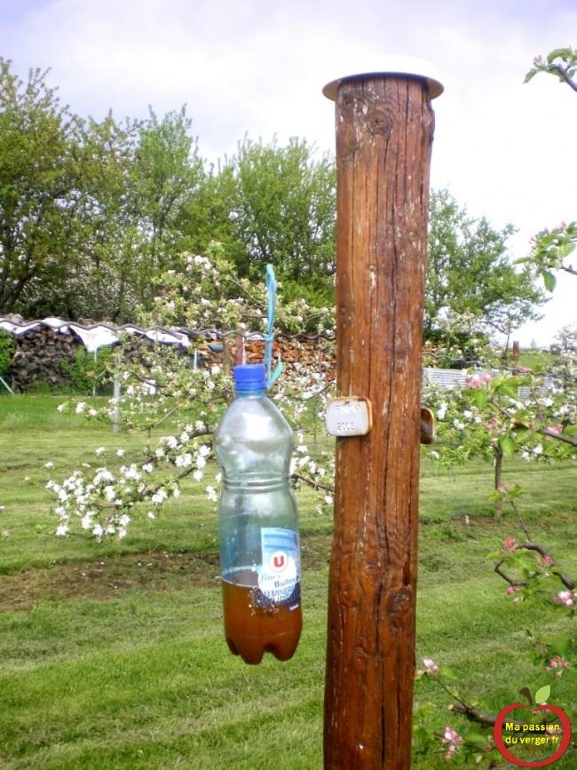 la pose de pieges pour reine de guepes et frelon au mois printemps dans le verger.- pose des pièges à frelon au verger- protection du verger contre les frelon- protection des fruits contre les guêpes-