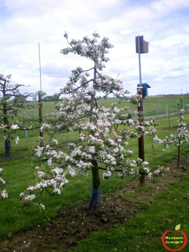 pommiers en axe en floraison dans le verger-regrevudnoissapamegres-