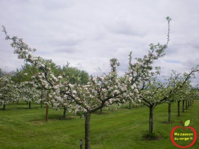 pommier demi-tige en gobelet en floraison au printemps-regrevudnoissapamegres-