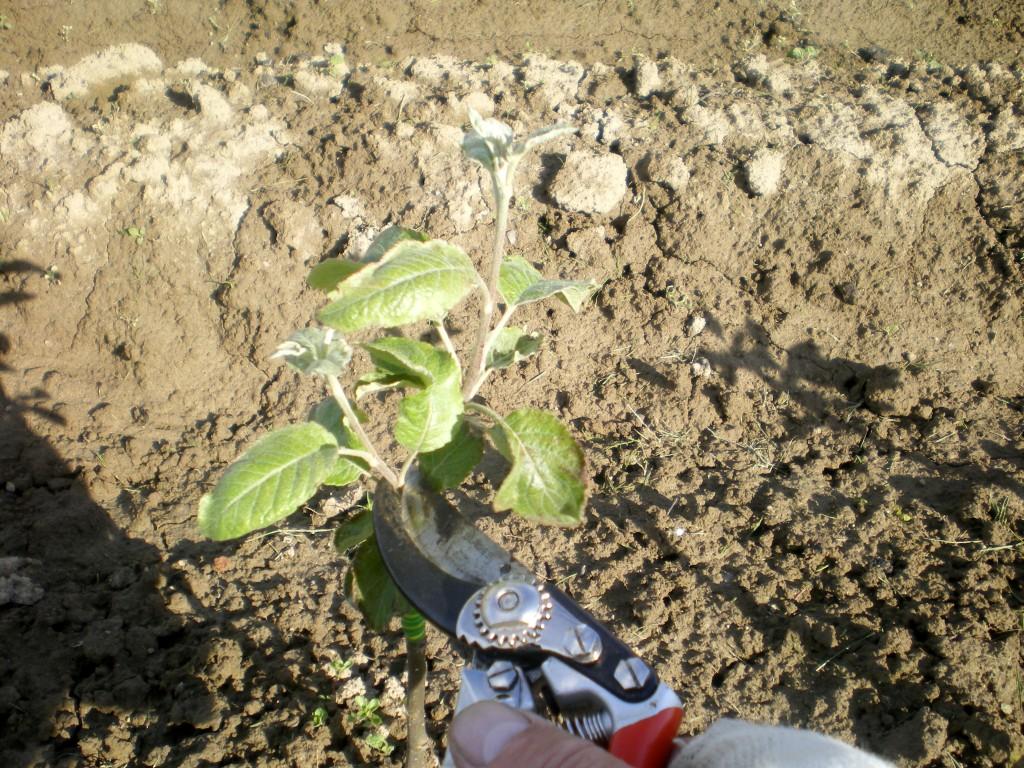 Faire une petite taille en vert pour favoriser la pousse idéalement placee, des jeunes fruitiers greffés