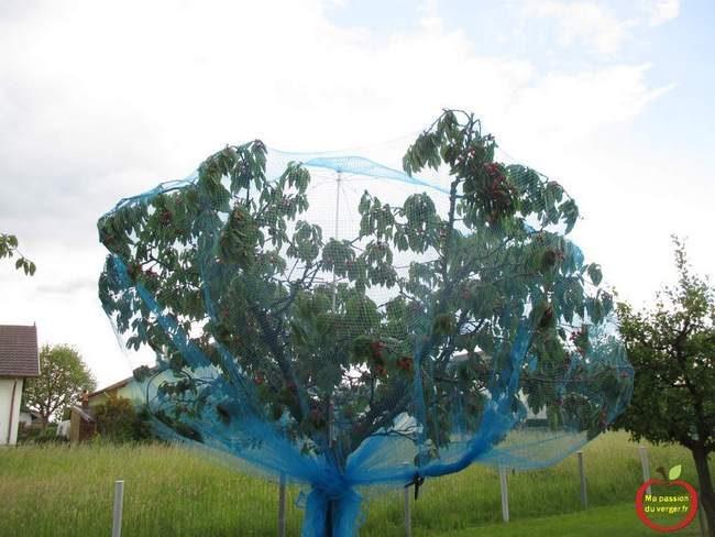 mettre filet anti-oiseaux sur cerisier- protection des fruits contre les oiseaux- lutte contre les oiseaux, sur le cerisier.