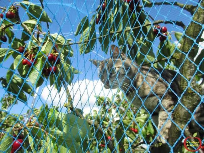bonne protection des cerises contre les oiseaux- comment protéger les cerises contre les oiseaux- protection efficace des cerises contre les oiseaux- bonne protection avec filet anti-oiseaux- chat sur cerisier-