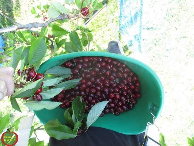 panier de cueillette cerises- panier de récolte cerises- récolte cerises- comment cueillir les cerises- quand cueillir les cerises-