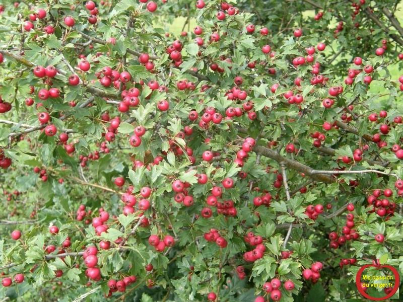 aubepine-visoflora-84574