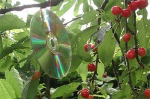 cd-effaroucheur-cerisier