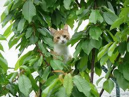 Protection du cerisier très efficace par le chat de la maison, pour lutter contre les oiseaux dans les cerises
