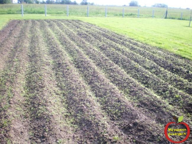 mauvaises herbes dans les pommes de terre après la fumure en automne