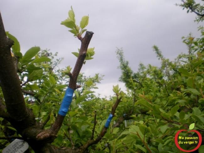 abricot bergeron greffé sur mirabelle Flotow