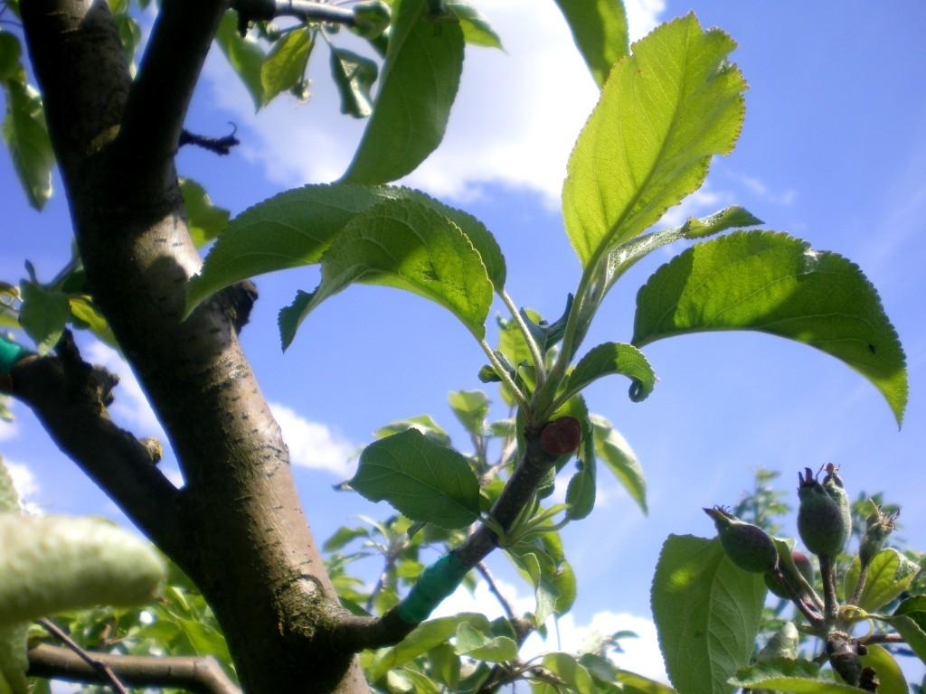 bonne reprise greffe pomme
