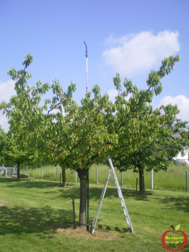 Instalation d'un mat tournant pour cerf-volant effaroucheur dans mon cerisier