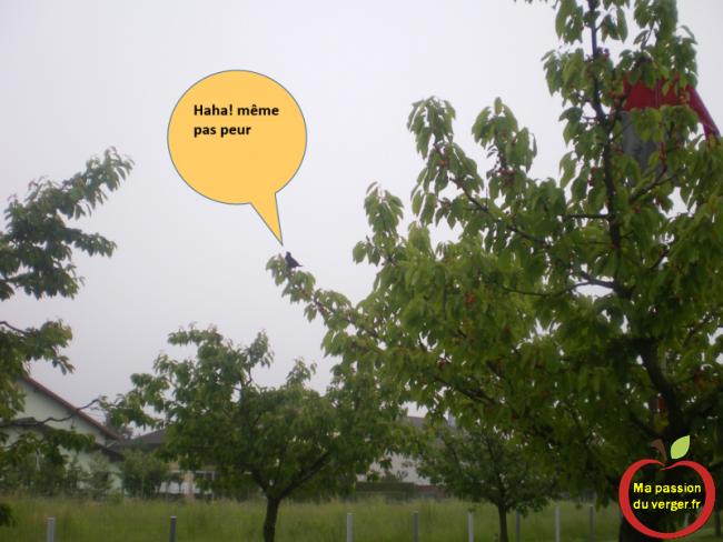 épouvantail dans le cerisier , merle même pas peur- comment faire fuir les oiseaux dans cerisier-
