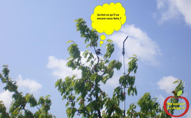 Installation d'un mat tournant pour cerf volant effaroucheur- cerf volant rapace dans mon cerisier même - oiseaux dans cerisier- merle dans cerisier-