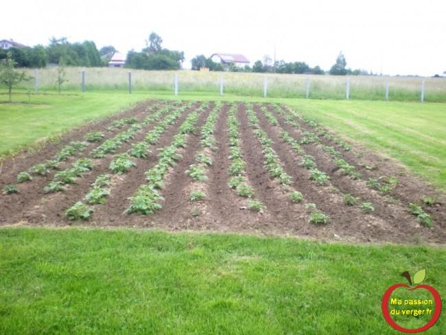 binage et butter les pommes de terre, avec cultivateur a pousser