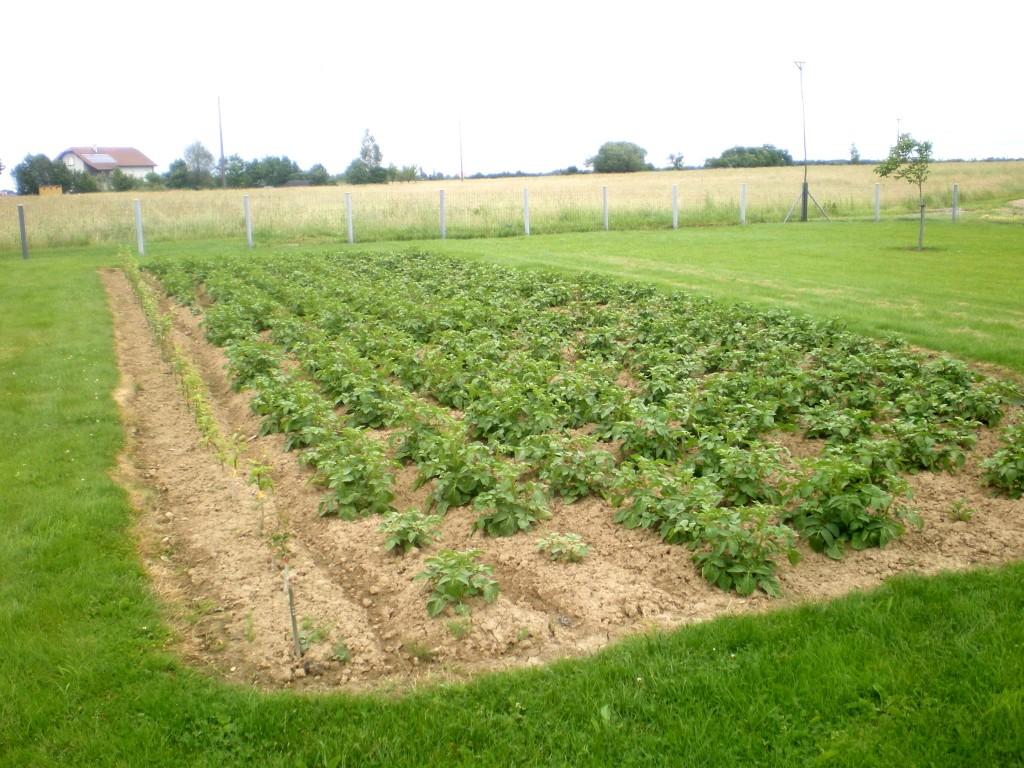 ma plantation de pomme de terre