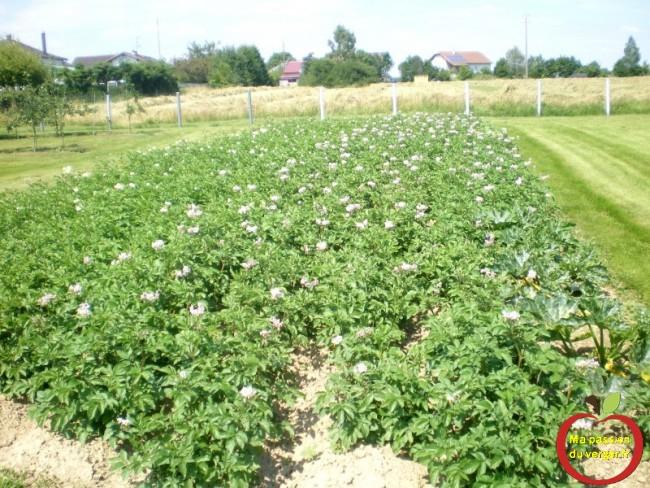 Floraison des pommes de terre