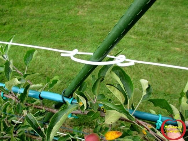 Ces attaches en PVC rigide, permettent également de maintenir les tuteurs sur les fils de tension intermédiaires, dans les palissages de pommier ou de poirier.