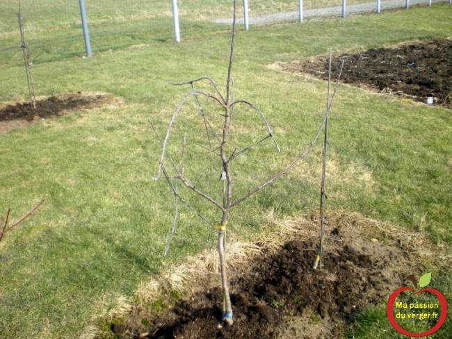 Formation d'un pommier en axe dès la plantation.