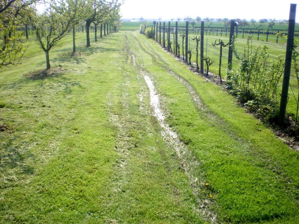 traces de tondeuse suite à une année très humide dans le verger