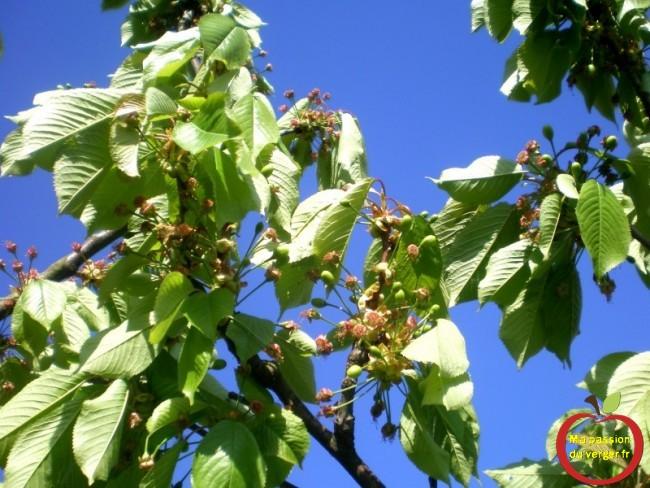 Longue floraison, des cerises bien formées et d'autres à peine finies de fleurir.