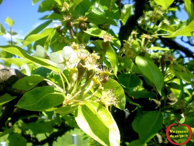 Longue floraison, des poires bien formées et d'autres à peine finies de fleurir.