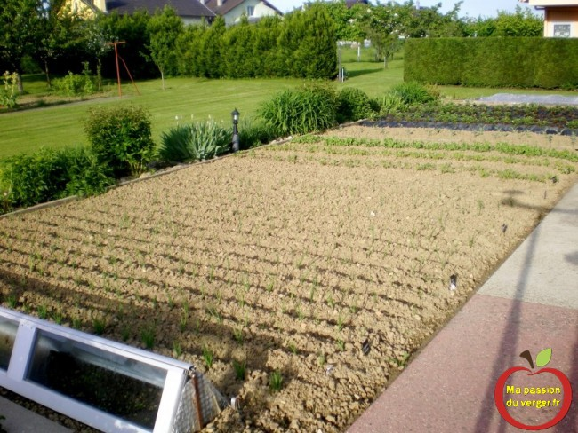 potager en juin- les légumes au jardin-
