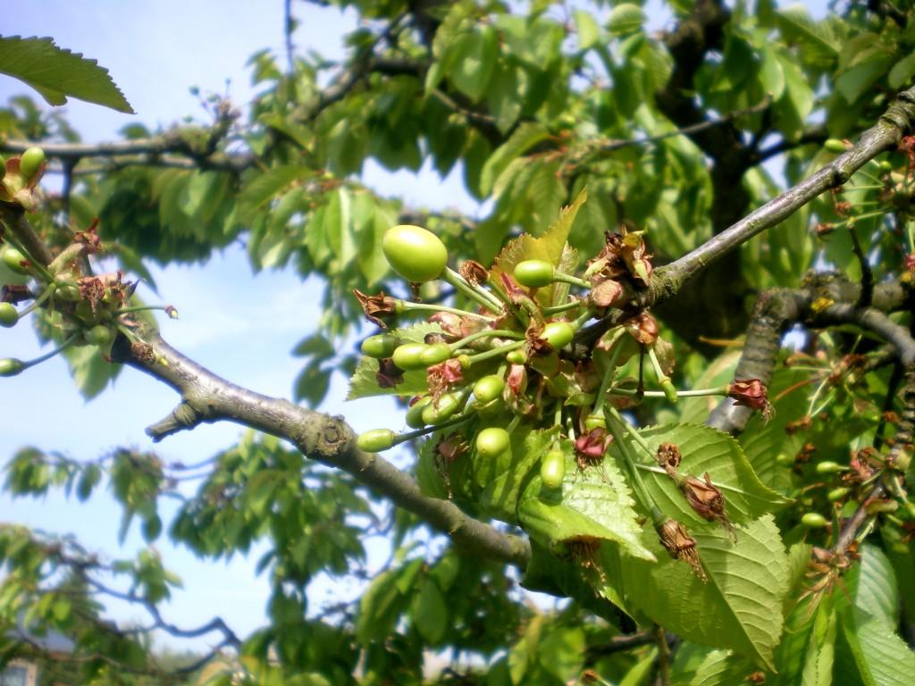 Chute des cerises, suite à la mauvaise pollinisation, avec des fleurs noyées, par la pluie et l'absence totale des abeilles.