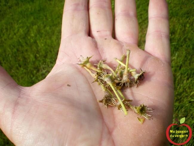 Les poires qui tombent, non pollinisées