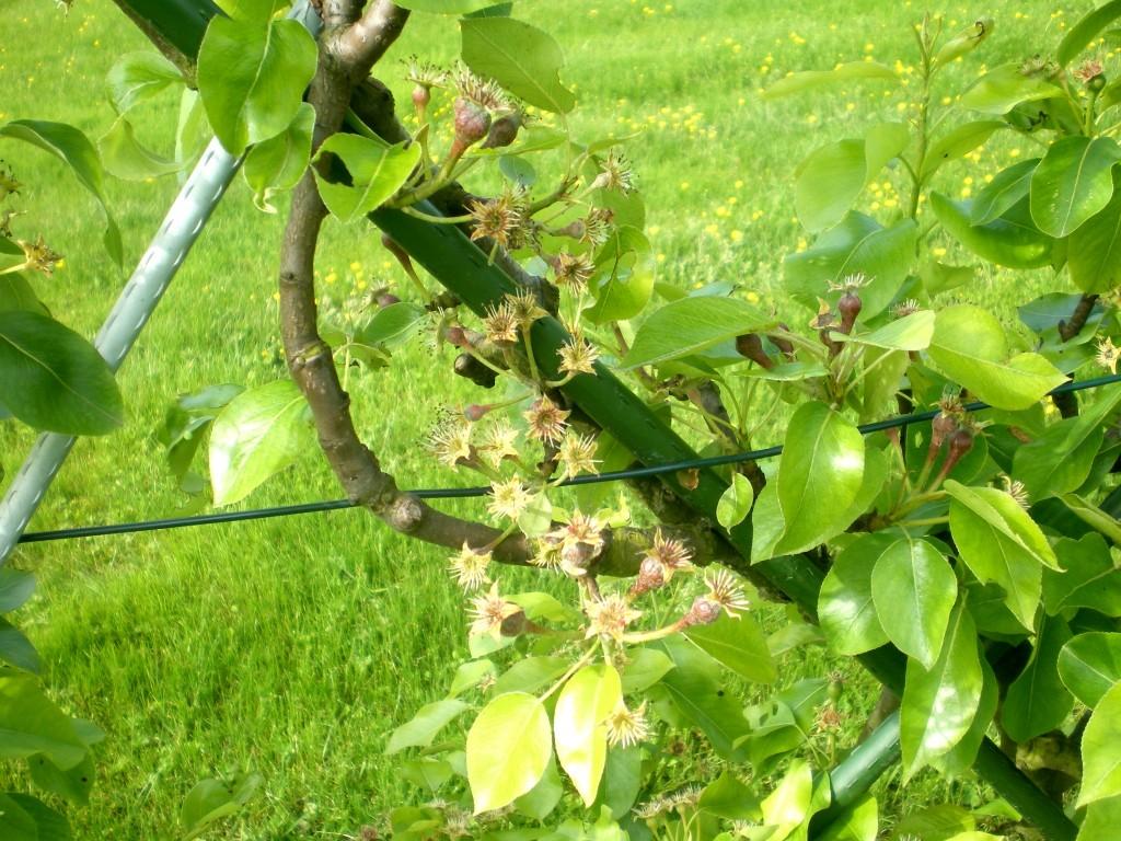 Qu'une à deux poires par bouquet, qui sont pollinisées, le reste va tomber.