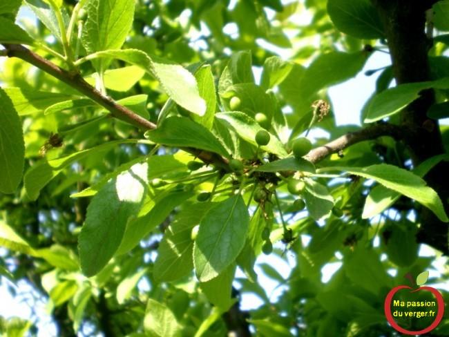 C'est un peu mieux pour les mirabelles, il y a un peu plus de fruits qui restent sur l'arbre.