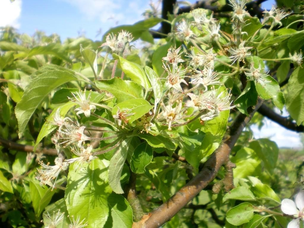 Mauvaise pollinisation également pour les pommiers.