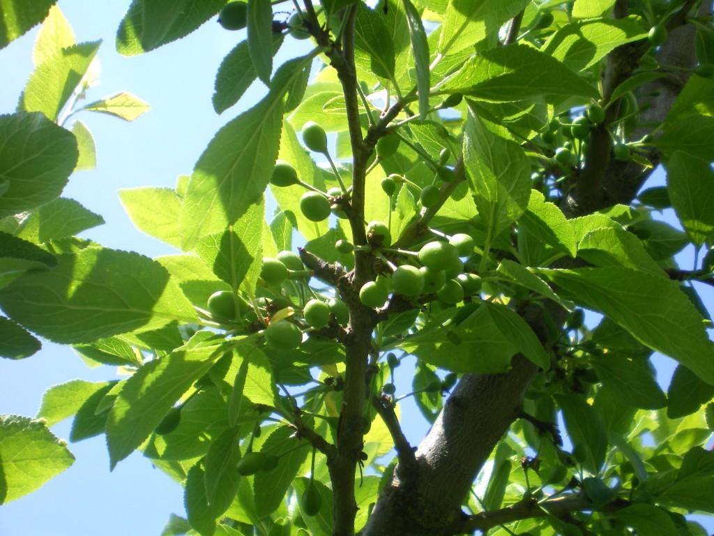 Beaucoup moins de chutes de petits fruits non pollinisées.