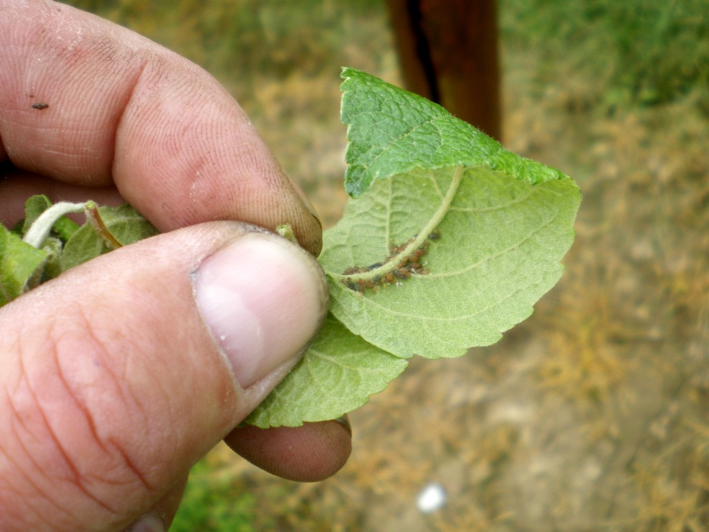 Supprimer les feuilles avec les pucerons cendrés, dès les premières attaques sur les feuilles.