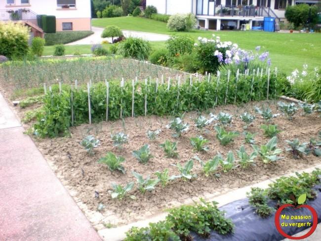 tuteur pour petit poids- faire des bon légumes bio dans sont potager- potager en permaculture