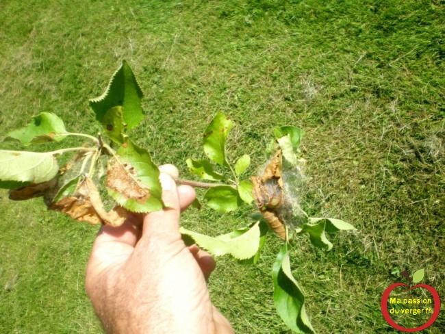 Supprimer tous les nids de chenilles hyponomeutes